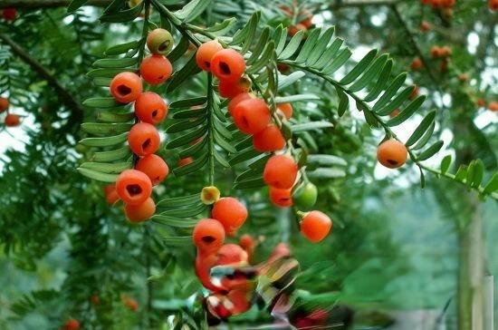 抗癌神树--红豆杉