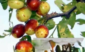 老枣树皮可治慢性肠炎