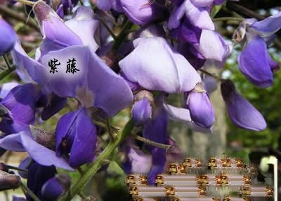 女人月经痛,紫萝来祛病!