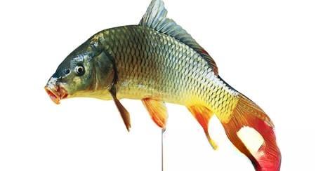 赤小豆鲤鱼汤,既美味又能治水肿