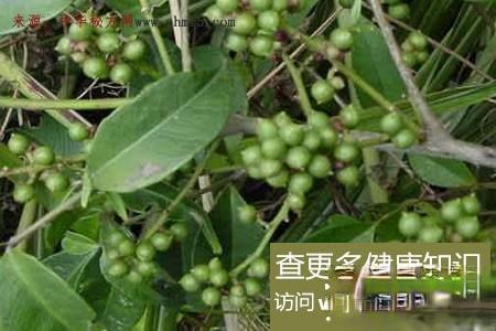 枫姜和刺花椒煮水,治好多年风湿骨痛!