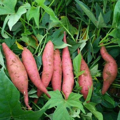 番薯、红薯叶解毒功效